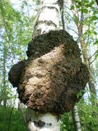 Chaga (Inonostus obliquus, rezavec šikmý) patří mezi víceleté dřevokazné houby.